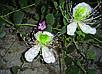 КАПЕРСЫ - СЪЕДОБНЫЕ ЦВЕТЫ (Capparis spinosa var. inermis), фото 2