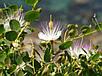 КАПЕРСЫ - СЪЕДОБНЫЕ ЦВЕТЫ (Capparis spinosa var. inermis), фото 4