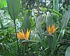 Стрелиция семена, фото 2
