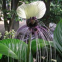 ТАККА - ЛЕТУЧАЯ МЫШЬ БЕЛАЯ (Tacca integrifolia), фото 1