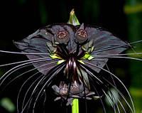 Такка черная семена