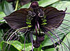 Семена Такка черная, фото 2