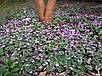 Семена Цикламен, фото 4