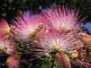 Семена Альбиция Шелковая, фото 2