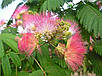 Альбиция Шелковая семена, фото 5