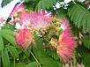 Семена Альбиция Шелковая, фото 5