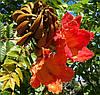 АФРИКАНСКОЕ ТЮЛЬПАННОЕ ДЕРЕВО (Spathodea campanulata)