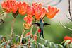 Спатодея Африканское Тюльпановое Дерево семена, фото 2