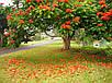 Спатодея Африканское Тюльпановое Дерево семена, фото 3