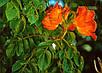 Спатодея Африканское Тюльпановое Дерево семена, фото 4