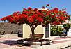 Спатодея Африканское Тюльпановое Дерево семена, фото 5