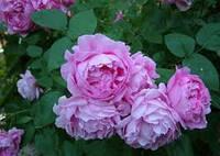 Саженцы роз Английская розовая