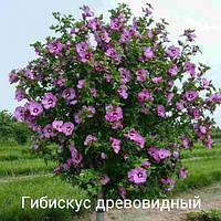 Гибискус деревовидный сиреневый