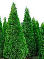 Туя західна Смарагд (Smaragd) 2 річна, висота   20/25 см