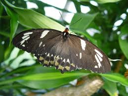 Ornithoptera priamus poseidon f