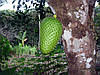 ГУАНАБАНА (АННОНА) - СМЕТАННОЕ ЯБЛОКО (Annóna muricáta)