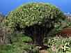 Семена Драконово Дерево, фото 3