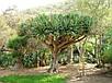 Семена Драконово Дерево, фото 4