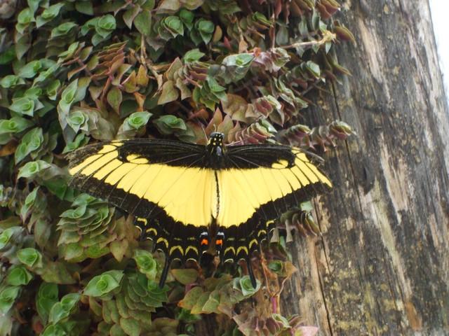 Papilio androgeus m
