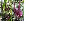 Коньяк маннан - растительный полисахарид