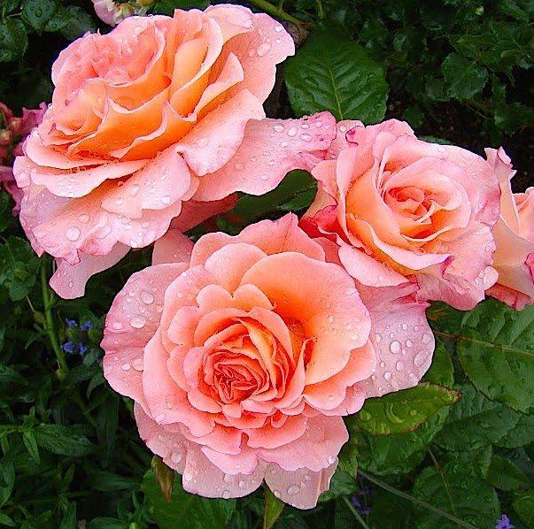 Саженцы Роза Августа Луиза  (Augusta Luise)