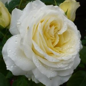 Саженцы Роза Шопен  (Chopin)