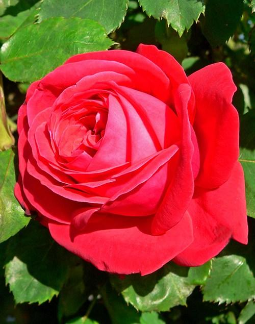 Саженцы Роза Дам де Кер  (Dama de Couer)