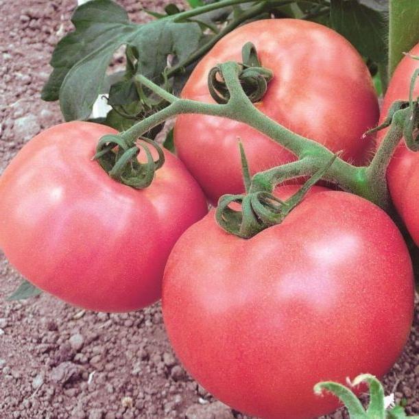 Семена томата До-Ре-Ми F1  (1 г)