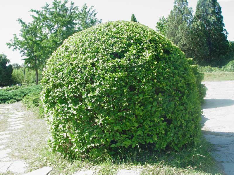 Бирючина формированная (шар) КОМ, D 70-80