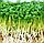 КРЕСС САЛАТ Микрозелень, семена зерна КРЕСС САЛАТА органические для проращивания 50 грамм, фото 6