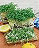КРЕСС САЛАТ Микрозелень, семена зерна КРЕСС САЛАТА органические для проращивания 50 грамм