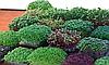 БАЗИЛИК ЗЕЛЕНЫЙ Микрозелень, семена зерна  органические ЗЕЛЕНОГО БАЗИЛИКА для проращивания 15 грамм