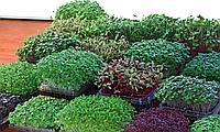 БАЗИЛИК ЗЕЛЕНЫЙ Микрозелень, семена зерна  органические ЗЕЛЕНОГО БАЗИЛИКА для проращивания 15 грамм, фото 1
