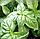 БАЗИЛИК ЗЕЛЕНЫЙ Микрозелень, семена зерна  органические ЗЕЛЕНОГО БАЗИЛИКА для проращивания 15 грамм, фото 9