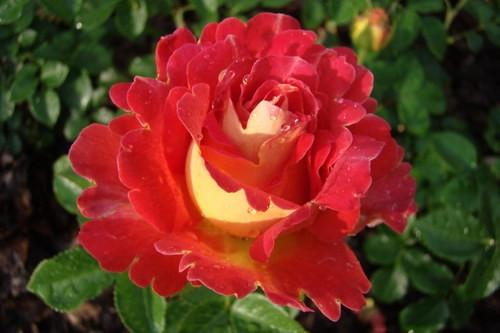 Роза Декор Арлекин Dekor Arlekin