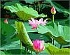 Раскраска по цифрам MENGLEI Цветение лотосов