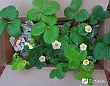 Чудо-Ягодница Сказочный Сбор – Набор для Выращивания Клубники на Подоконнике, фото 2
