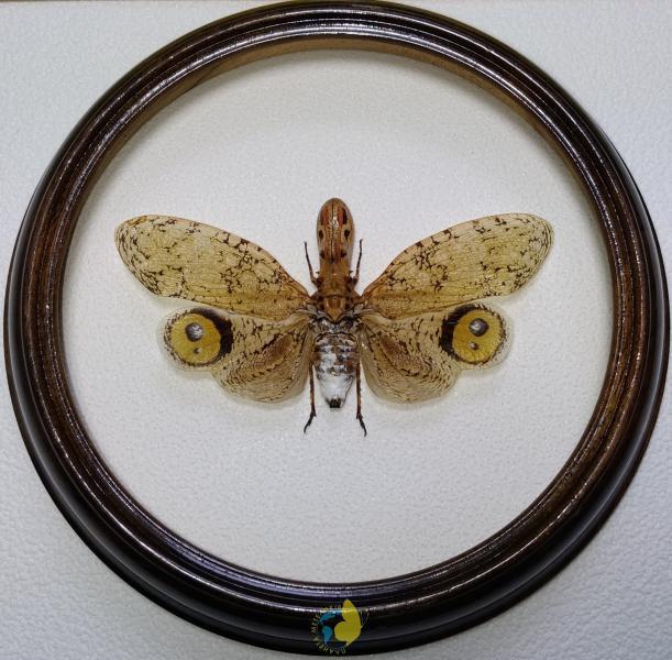 Сувенир - Фонарница в рамке Fulgora laternaria. Оригинальный и неповторимый подарок!