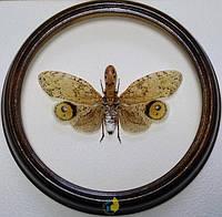 Сувенир - Фонарница в рамке Fulgora laternaria. Оригинальный и неповторимый подарок!, фото 1