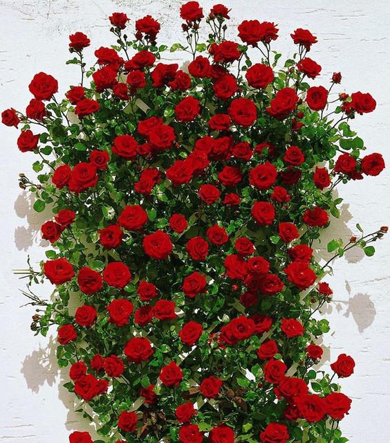 Плетистал-парковая, вьющаяся роза