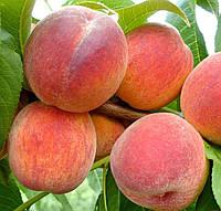 Саженцы персика сорт Эрли Редхевен