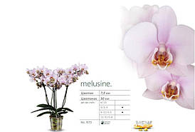"""Подростки орхидеи. Сорт Melusine, размер 1.7"""" без цветов."""