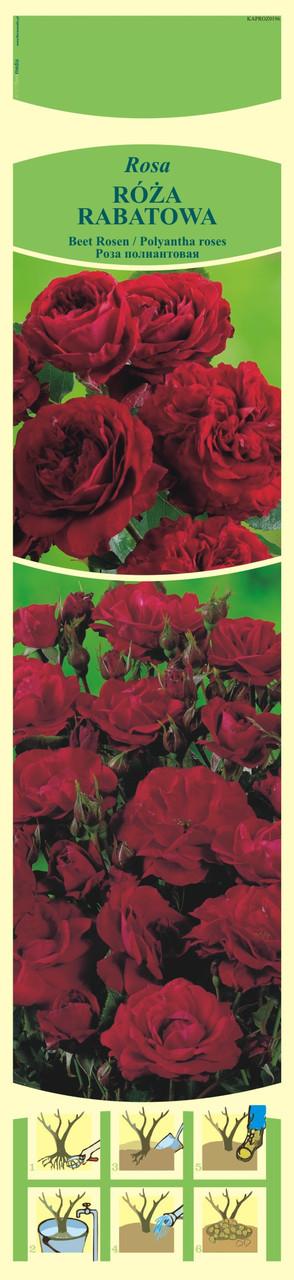Саженцы Роза рабатковая (Польша)  27