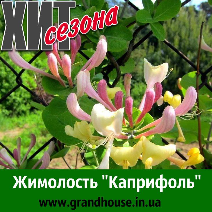 """Жимолость """"Каприфоль"""" (ЗКС, в горшке) / Саженцы / Премиум Качество"""