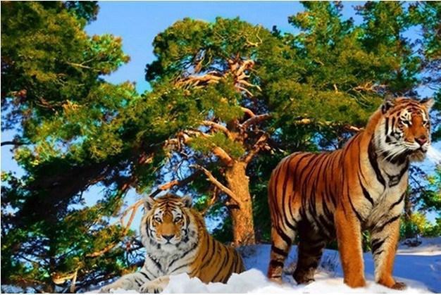 """Алмазная вышивка 39х26см - набор """"Африканские тигры-2"""""""