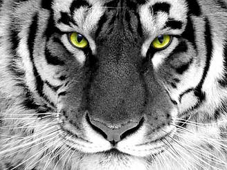 "Алмазная вышивка 40х30см - набор ""Взгляд тигра"""