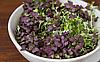 БАЗИЛИК ФИОЛЕТОВЫЙ Микрозелень, семена органические ФИОЛЕТОВОГО БАЗИЛИКА для проращивания 15 грамм