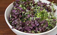 БАЗИЛИК ФИОЛЕТОВЫЙ Микрозелень, семена органические ФИОЛЕТОВОГО БАЗИЛИКА для проращивания 15 грамм, фото 1