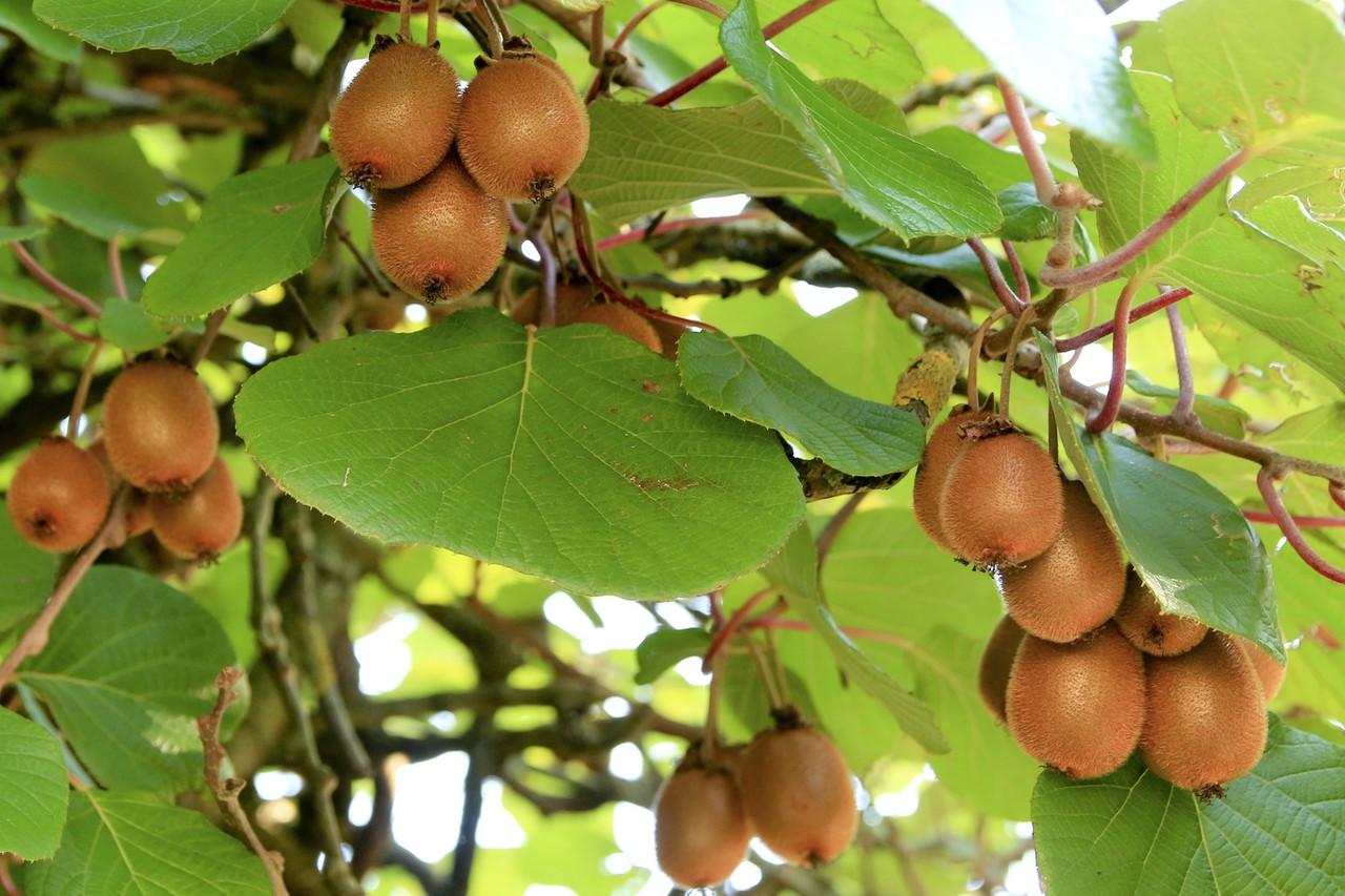 Способы формирования опор для выращивания киви