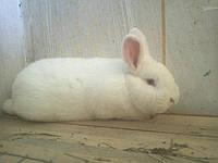 Кролики породы Новозеландский белый